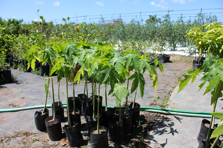 Young Papaya Plants